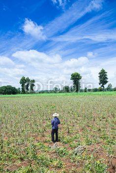 Farmer in cassava farm field, thailand