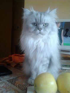 #Romeo #posing (22 months old) #gattopersiano #chinchillacat #persiancat #gatto #fluffy #cats #pets #animals