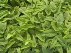 Salsaparrilha - Indicações do chá desta planta