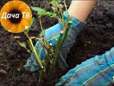 Как вырастить розы из черенка RMNT.RU