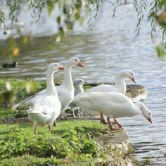 Ducks enjoying their park. Pond Life, Country Life, Country Farm, Country Living, Beautiful Birds, Beautiful Gardens, Lake Life, Farm Animals, Beautiful Creatures