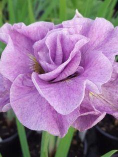 Iris - Pink Parfait Double Siberian Iris
