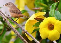Foto corruíra (Troglodytes musculus) por Maria Albers   Wiki Aves - A Enciclopédia das Aves do Brasil