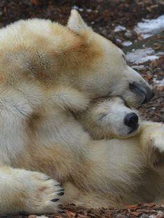 Cuddle Icebaer ...