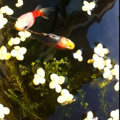 Goldfish in Container Pond