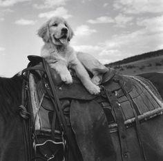 Photos: Bruce Weber's Dogs! Golden Retriever Puppy.