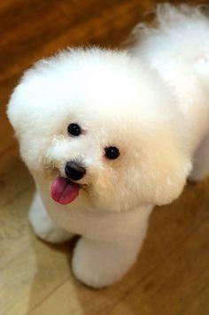 Bichon July.12.2013 | Flickr - Photo Sharing! opawz.com  supply pet hair dye,pet hair chalk,pet perfume,pet shampoo,spa....