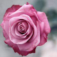 una hermosa rosa!!!