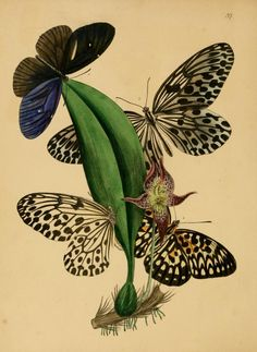 """From """"Cabinet of Oriental Entomology"""" by J.O. Westwood, Esq."""