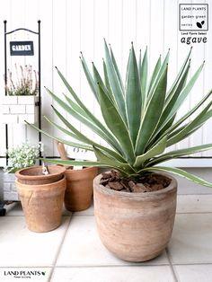 Succulents Garden, Planting Flowers, Rak Display, Dry Garden, Office Plants, Agaves, Foliage Plants, Green Flowers, Garden Styles