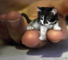 Singapura kitten .... Singapura is the world's smallest domesticated cat.