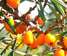 Concerned about cancer, inflammation, memory loss or diabetes? 'Holy Fruit of the Himalayas' can help www.naturalnews.com/042578_sea_buckthorn_health_benefits_natural_medicine.html