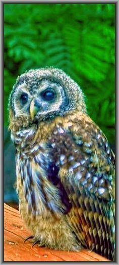 beautiful OWL  #by Richard Marlow on 500px.com
