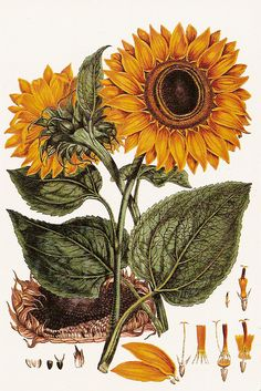 ♥ღ Sunflower botanical