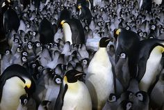 Emperor penguin chicks huddle for warmth with other chicks and...