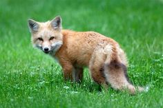baby fox | Pictures of Red Foxes, Red Fox Facts