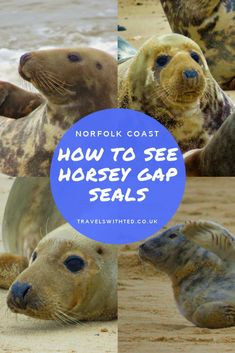 Norfolk is an excellent county for wildlife spotting. One of our favourite places to go is Horsey Gap. In winter grey seals gather on Horsey Beach. Norfolk Broads, Norfolk Coast, Norfolk England, Travel With Kids, Family Travel, Kids Wraps, Seal Pup, European Travel, Travel Europe