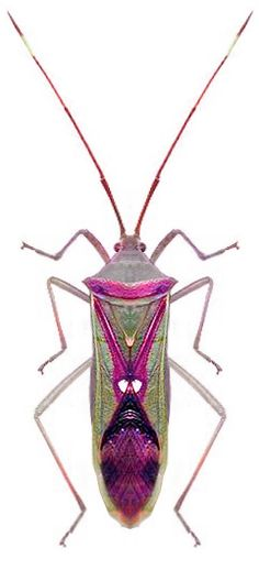 Homoeocerus sp.- ISN'T HE GORGEOUS!! (Looks as though he has been coloured…