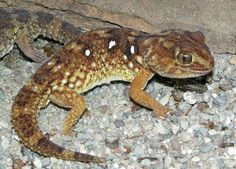 Chondrodactylus angulifer - Namib Giant Ground Gecko