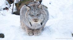 Canadian Lynx by Raymond Barlow on 500px