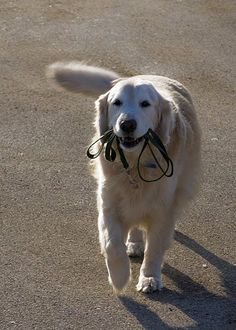 Beau takes his daily walks with his leash in his mouth...so sweet.