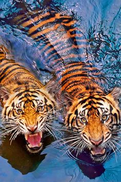 Tigers in pond.    Captado