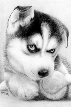 This is my ball.... Siberian Husky Huskies #DogsinBlackAndWhite Black and White #Photography #DogPhotography #Dogs #Puppy by gabriela