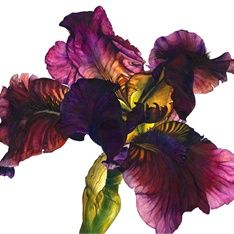 Iris plant illustration by Rosie Sanders. This is a watercolour painting as well. Like in the previous artwork the colours are very bright however in this artwork the colours are more stronger and extremely vibrant. This artwork does't have much dimention as the flower looks as if it's squashed which makes it really exiting. This really shows of how close up the painting is which makes us notice every detail.