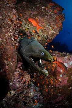 Isla Del Coco - Morey Eel by Bigeye Bubblefish [  Addict  ] on Flickr.