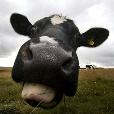 Silly cow!