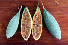 Passiflora tripartita. Fruit. Grenadine banane ou Tété boeuf à la Réunion