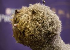 Lagotto Romagnolo | These Are The 7 New Breeds Competing At The Westminster Dog Show - BuzzFeed News