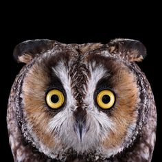 Long eared owl. Photo: Brad Wilson.  The Long-eared Owl is a frequent target for other birds of prey, including Great Horned Owls and Barred Owls. When facing a formidable threat, it has a few tricks up its wing. It might pull in its plumage and stand up straight, elongating its body to look more imposing. The small owl may also sway side to side, feign an injury, or flop around its nest while screeching owlish imprecations.