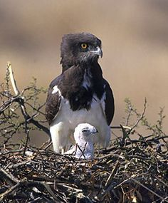 Black-chested Snake Eagle with chick (Circaetus pectoralis) , Kruger National Park