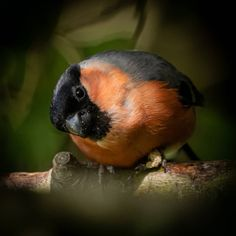 Bullfinch, Milton Keynes, Wildlife, Birds, Urban, Watch, Animals, Instagram, Clock