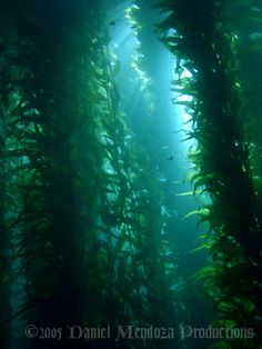 kelp beds - dive destination California