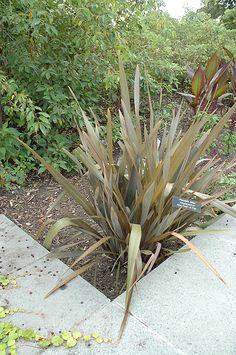Bronze New Zealand Flax (Phormium tenax 'Atropurpureum') at Plant World