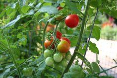 Tomato plant #gardening #garden #gardens #DIY #landscaping #home #horticulture #flowers #gardenchat #roses #nature