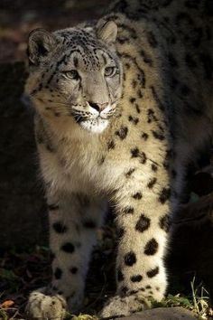 Snow leopard by MyohoDane