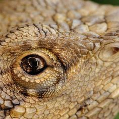 Bearded Dragon Legislation. The legislation, or the laws surrounding the keeping of these lizards, have not changed drastically over the last few years. The main questions I get asked often surrounds the keeping of Bearded dragons in specific provinces, i.e. the necessity of having a permit and importing Bearded dragons into South Africa. http://www.beardeddragons.co.za/bearded-dragon-legislation/