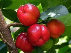 Acerola - Is one of the highest vitamin C content measured in any fruit - just bellow camu-camu. Cherry Plant, Cherry Tree, Fruit And Veg, Fresh Fruit, How To Grow Cherries, Strange Fruit, Kinds Of Fruits, Beautiful Fruits, Tropical Fruits