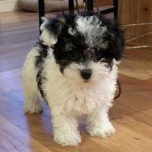 Elsa Maltipoo Puppy Maltipoo Puppies For Sale Puppies