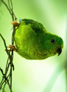 Pappagallino barrato - Barred parakeet - Bolborhynchus lineola Parakeet, Parrots, Beautiful Birds, Pets, Parakeets, Parrot