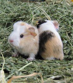 Little Guinea pigs
