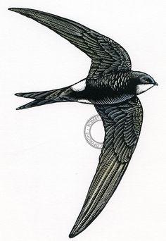 Swift scratchboard bird art wildlife art by RobManciniImages