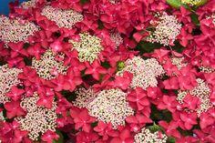 Hydrangea macrophylla 'Redstart'