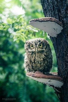 Cranky Western screech owl on a mushroom veranda (credit: Kurt De Meulemeester) Beautiful Owl, Animals Beautiful, Cute Animals, Owl Photos, Owl Pictures, Owl Bird, Pet Birds, Western Screech Owl, Tier Fotos