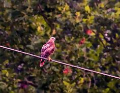Red Tailed Hawk On A Wire