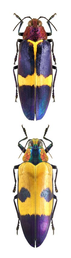 Chrysochroa buqueti hermanni; Chrysochroa buqueti mirabilis