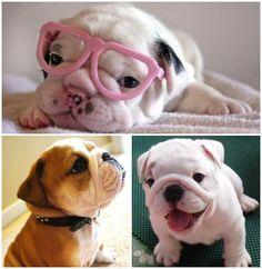 Bulldog inglês – saiba tudo sobre essa raça!